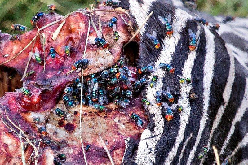 large_Zebra_Carcass_8-2.jpg