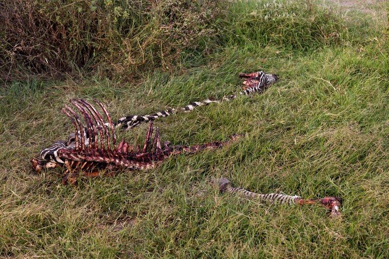 large_Zebra_Carcass_8-6.jpg
