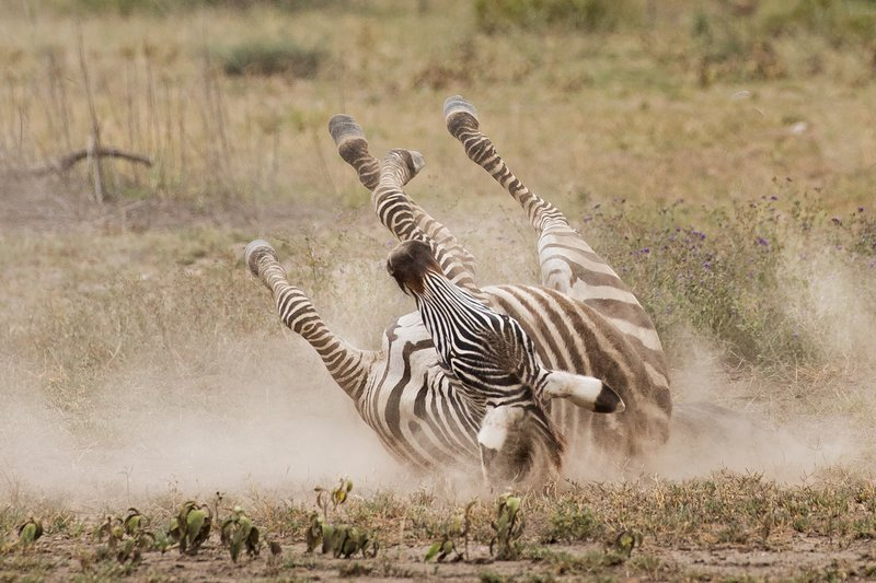 large_Zebra_Dust_Bath_10.jpg