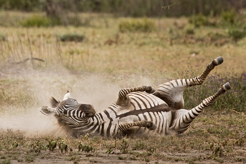 large_Zebra_Dust_Bath_15.jpg