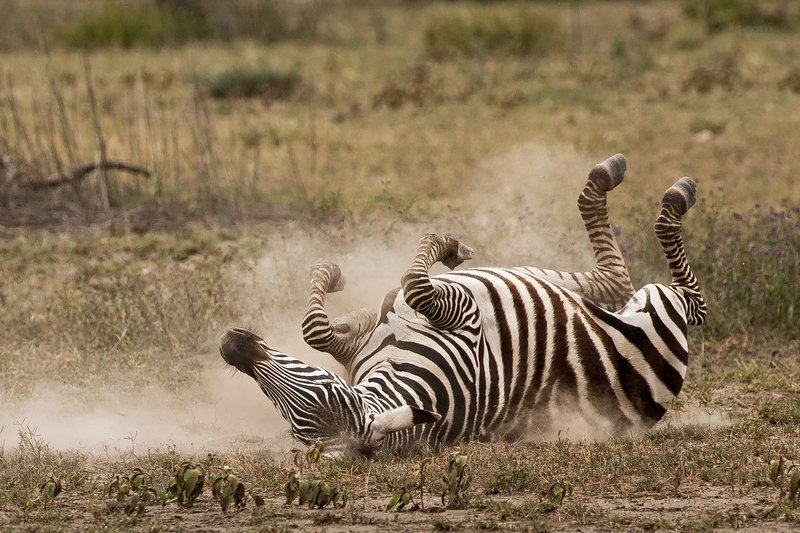 large_Zebra_Dust_Bath_6.jpg