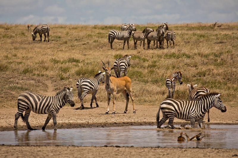 large_Zebra_and_Eland_1.jpg