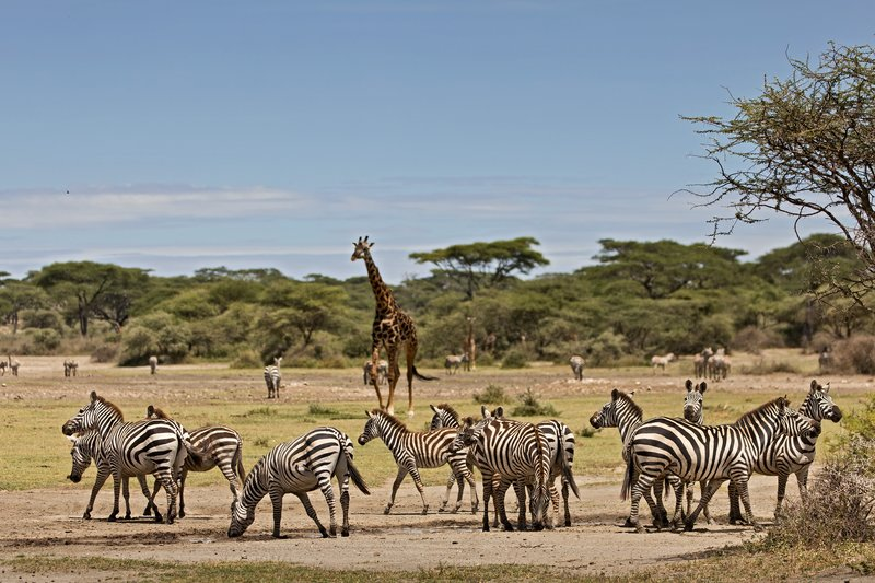 large_Zebra_and_Giraffe_4.jpg