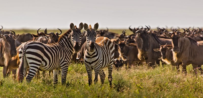 large_Zebra_and_Wildebeest_12-1.jpg
