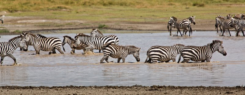large_Zebra_at_H..Valley_8-16.jpg