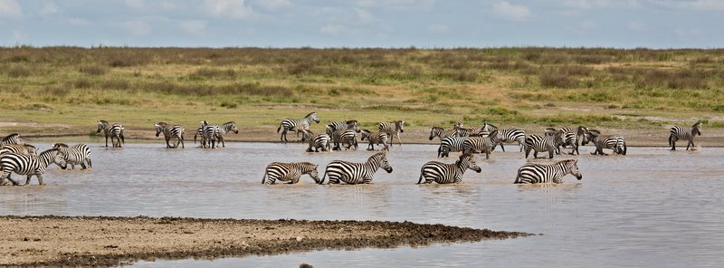 large_Zebra_at_H..Valley_8-17.jpg