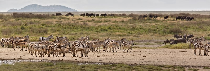 large_Zebra_at_H.._Valley_8-9.jpg