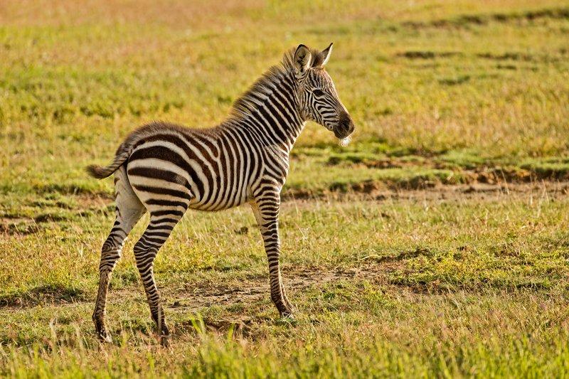 large_Zebras_13.jpg