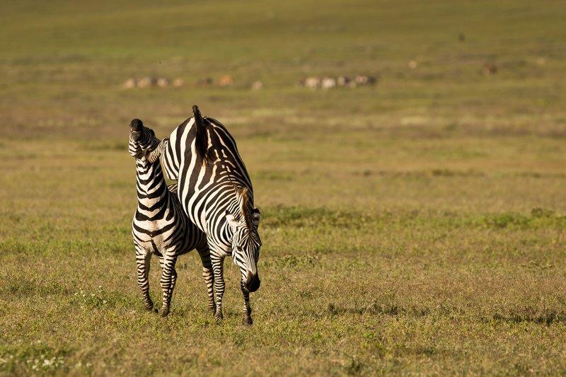 large_Zebras_2.jpg