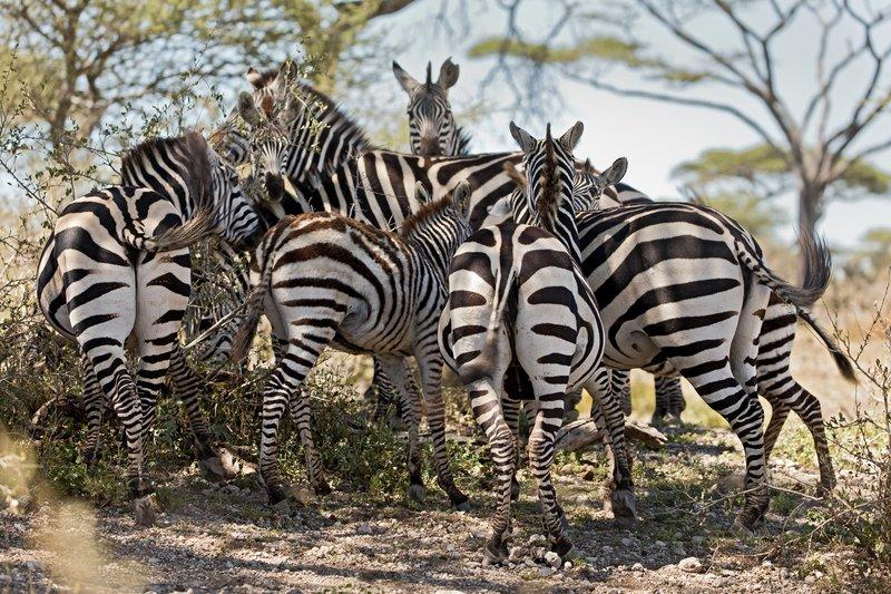 large_Zebras_201.jpg