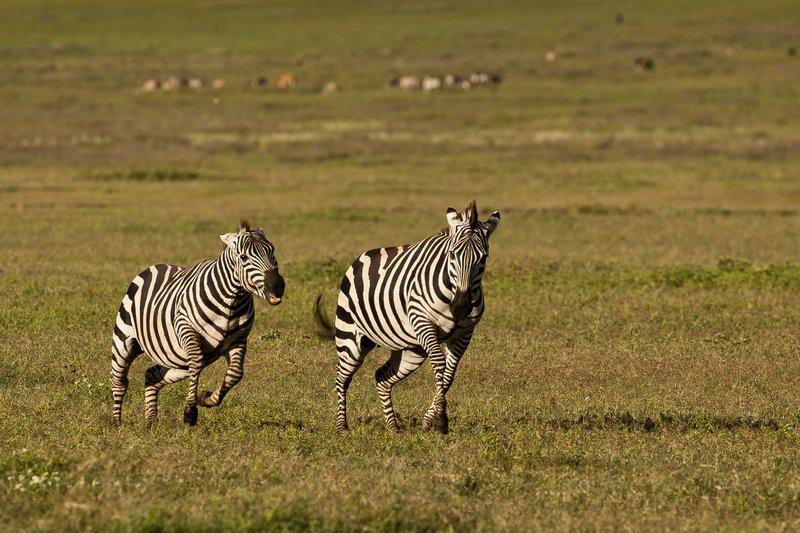 large_Zebras_3.jpg