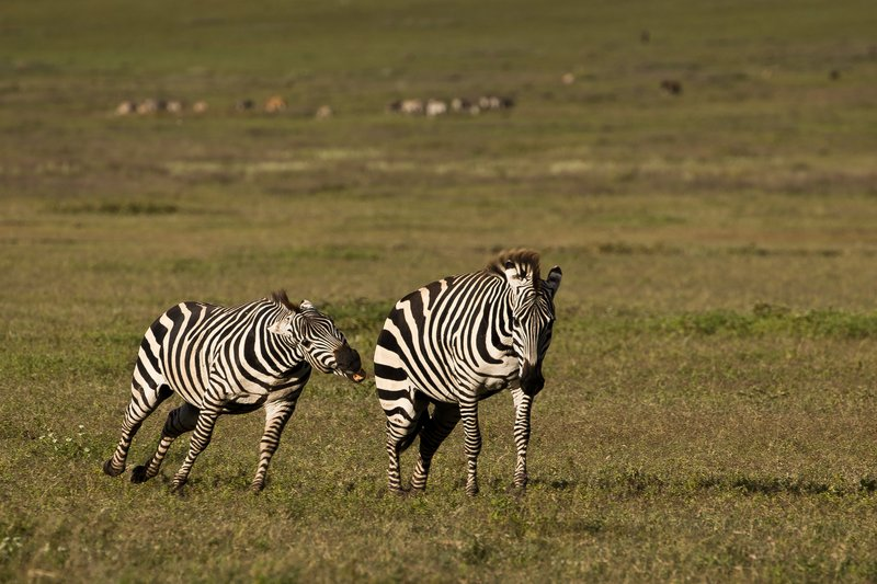 large_Zebras_4.jpg