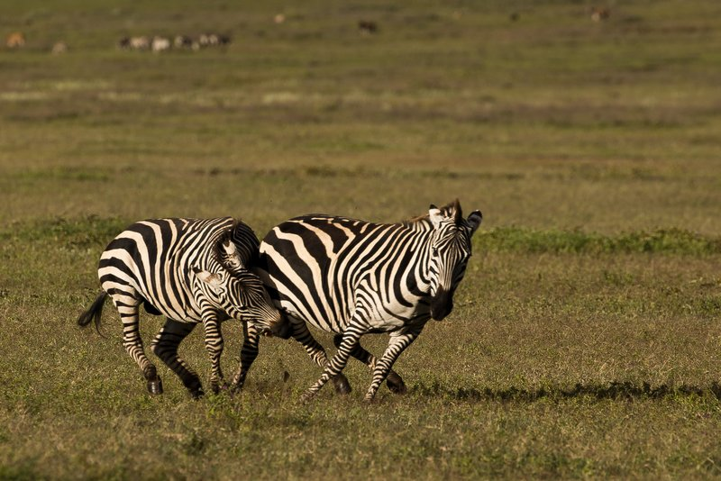 large_Zebras_5.jpg