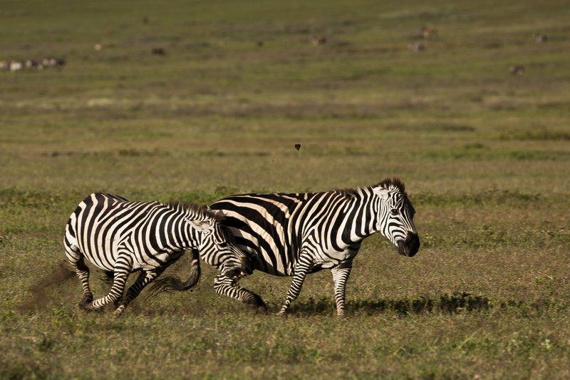 large_Zebras_6.jpg