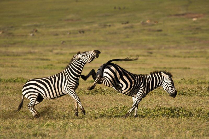 large_Zebras_7.jpg