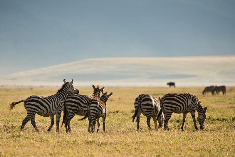 large_Zebras_8.jpg