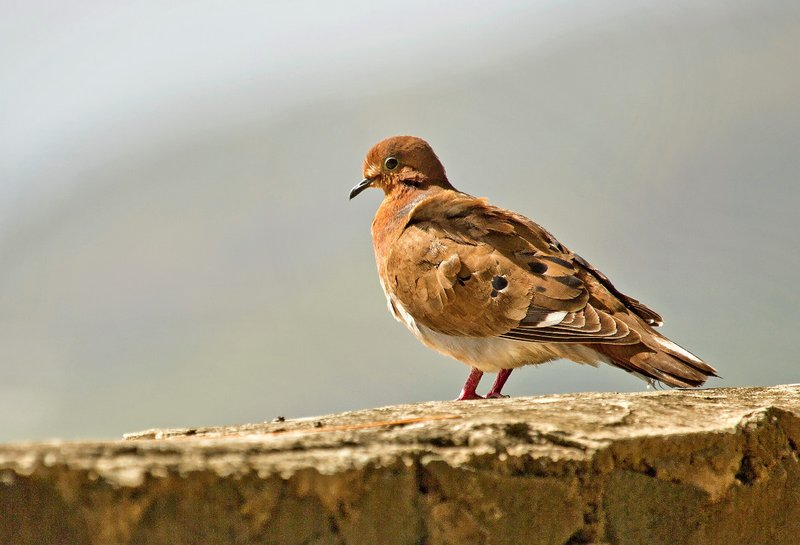 large_Zenaida_Dove_2.jpg