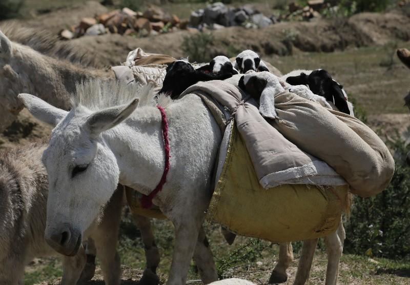 large_baby_sheep_om_donkey.jpg