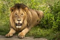 Lion, Ndutu 13-2 # 5