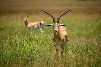 Gazelle, Grant's, Serengeti 21