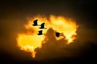 Egrets, Lake Masek 13-2 # 10
