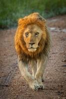 Lions, Three Old Brothers, Serengeti 41