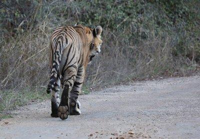 tiger_3.jpg