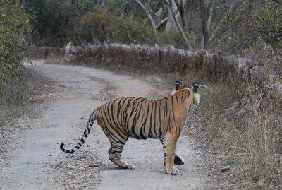 tiger_6.jpg