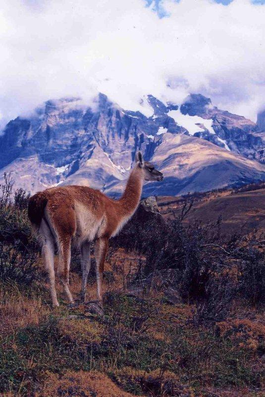 Guenacos In Torres del Paine