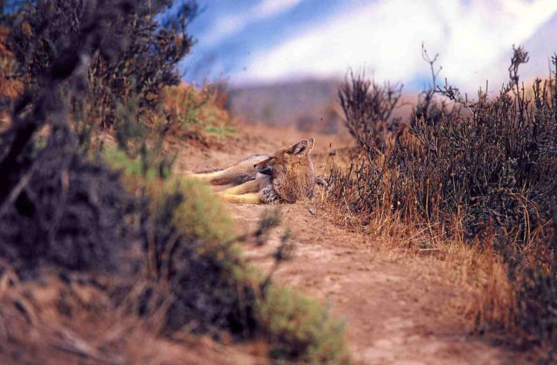 """img037   """" Coyote at Rest """""""