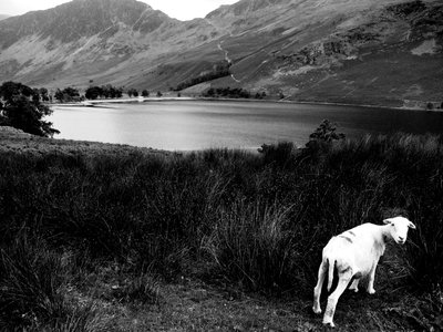 Curious sheep, Buttermere