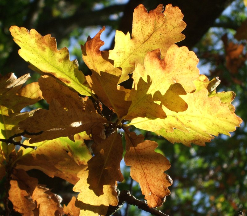 Burst of light, oak leaves in autumn