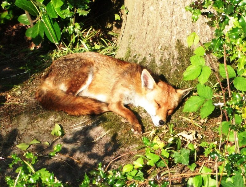 'Let sleeping dogs lie' - fox dozing