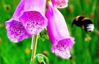 Digitalis purpurea being pollenated by a bee, Kentish garden
