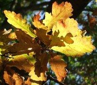 Burst of light, oak leaves in autumn