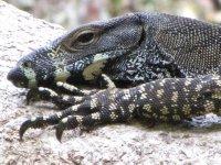 Goanna Lizard