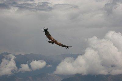 Andean Condor #3