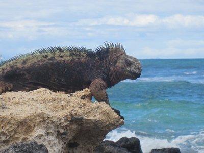 Maine Iguana
