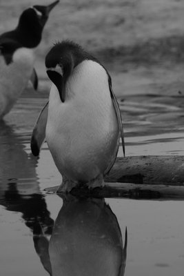 Mirror on the wall..who's the prettiest penguin of them all?