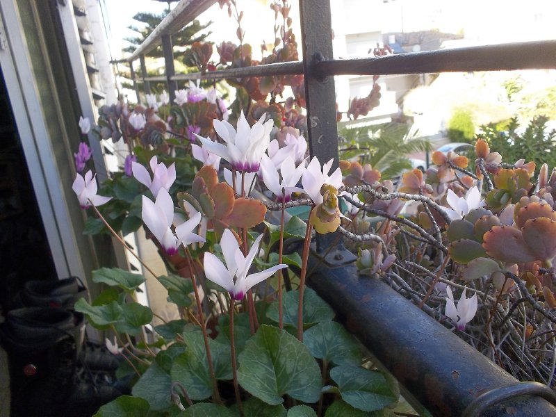 Cyclamens on my window