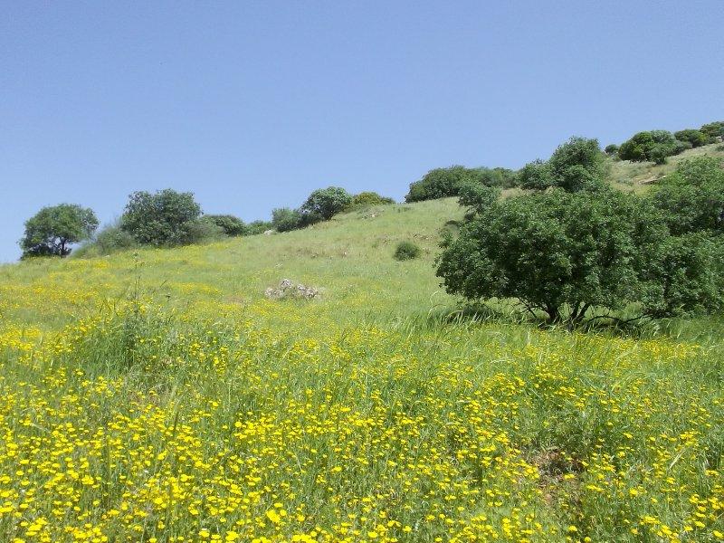 Israel_fields of yellow in Galilee