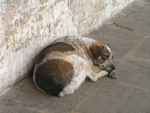GUATEMALA - Antigua - dog
