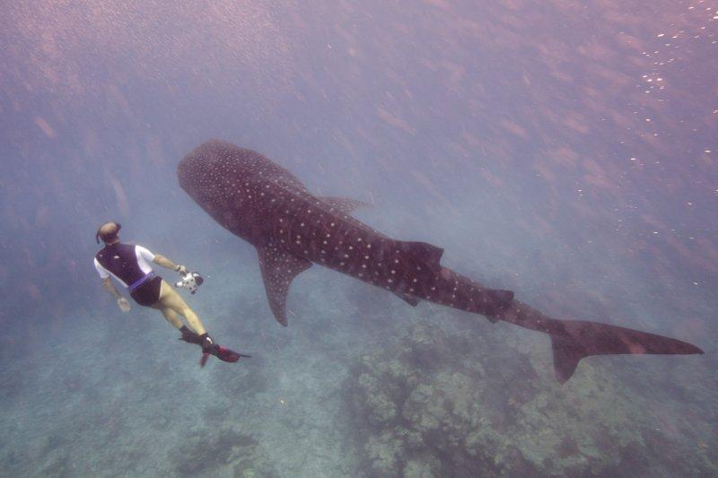 Maldives_WhaleShark