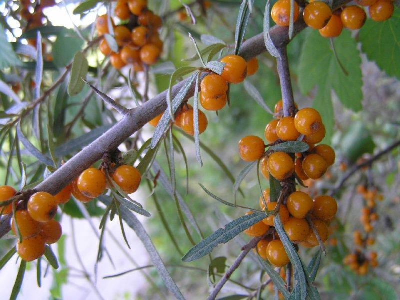 Sea Buckthorn Berries (oblepiha) on Donauinsel (Vienna)