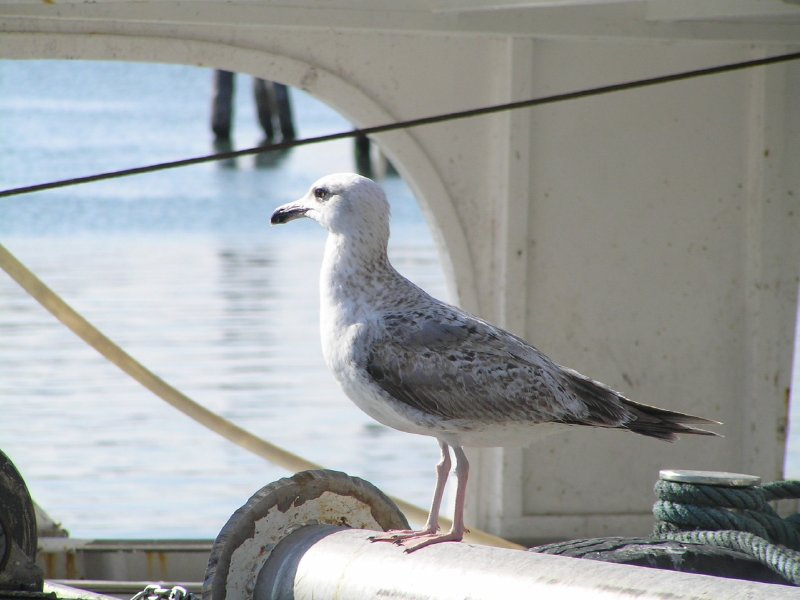 ITALY_Chioggia - portrait of gull