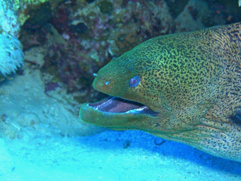 UNDERWATER_Giant Moray Eel (Red Sea)
