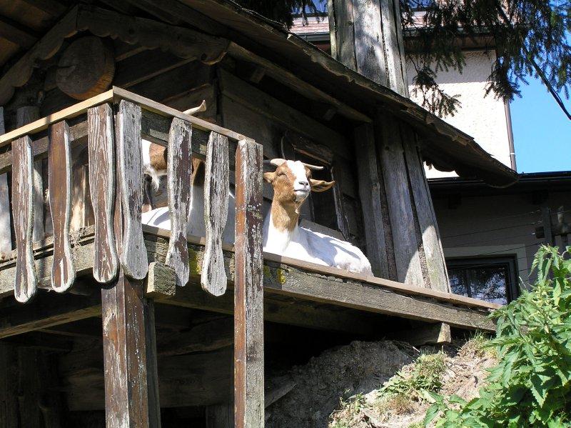 AU_goat portrait from Semmering