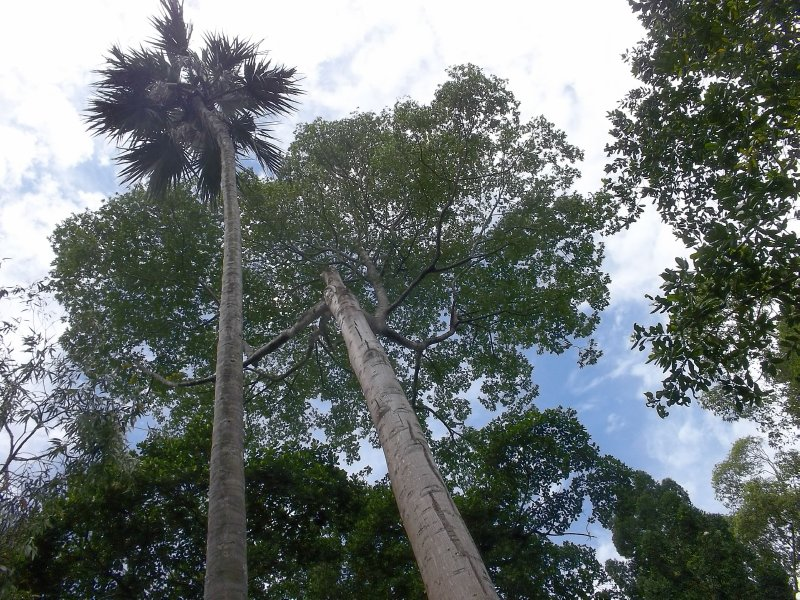 Sri Lanka_very tall trees
