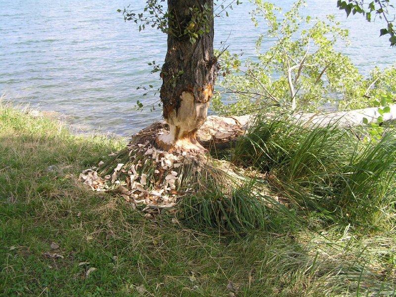 VIENNA_beaver work