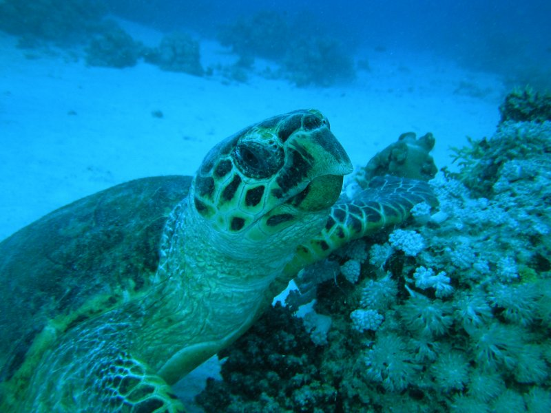 UNDERWATER_Red Sea turtle